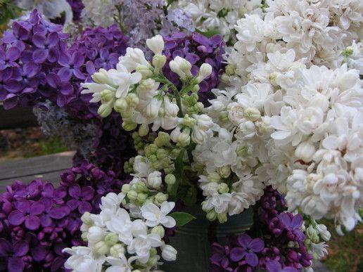"""Résultat de recherche d'images pour """"images animees de lilas blanc"""""""