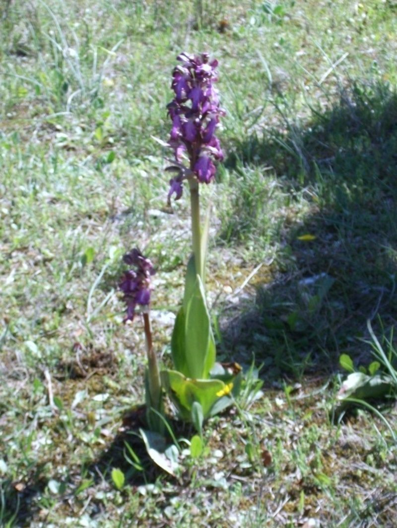 orchidee sauvage languedoc roussillon